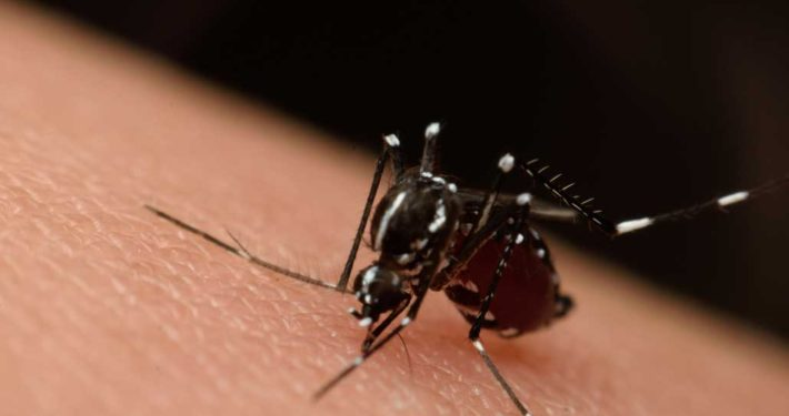 Komár saje krex