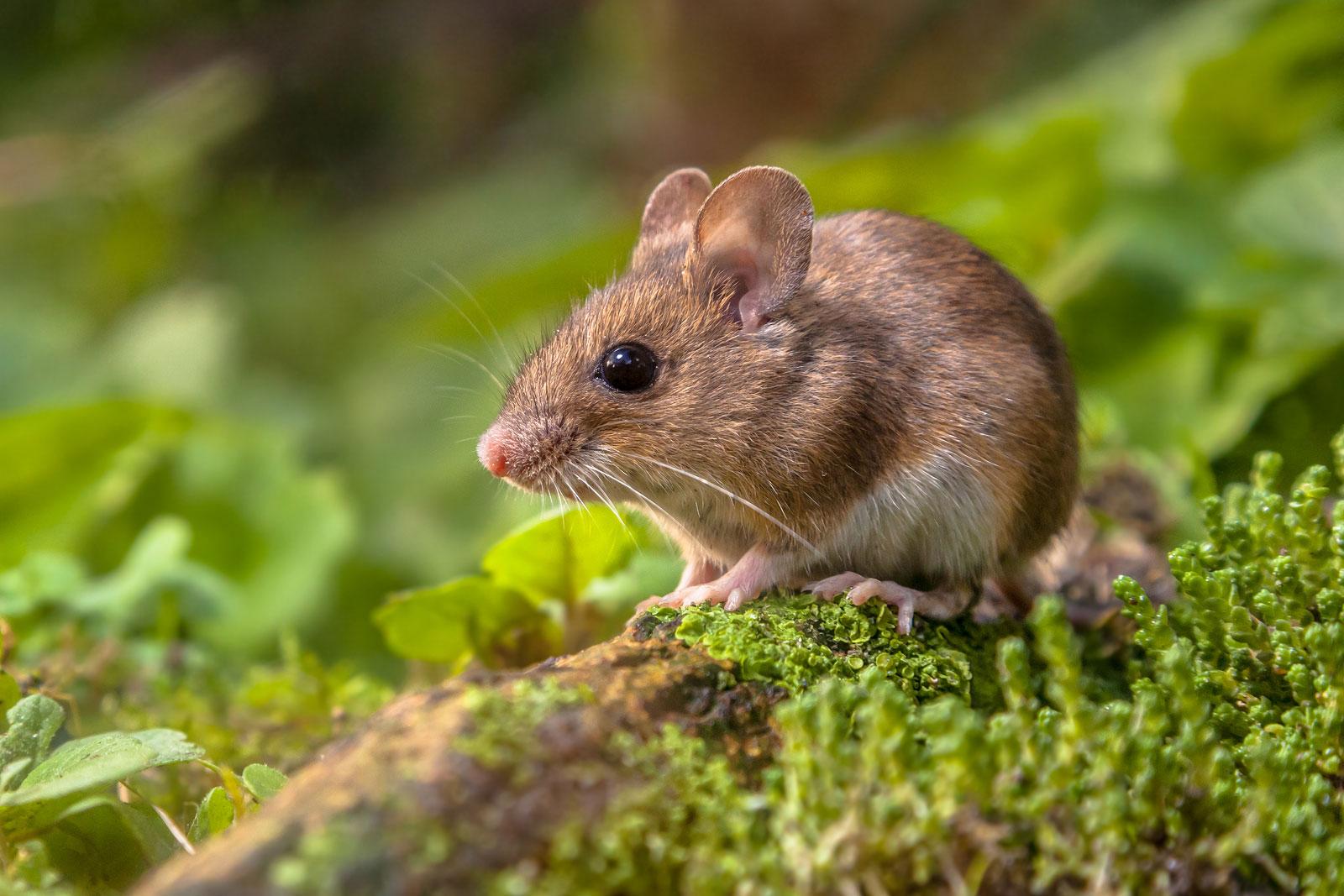 Jak Se Zbavit Myší